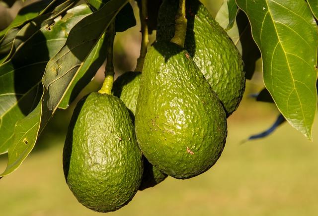 avocadoboom kweken