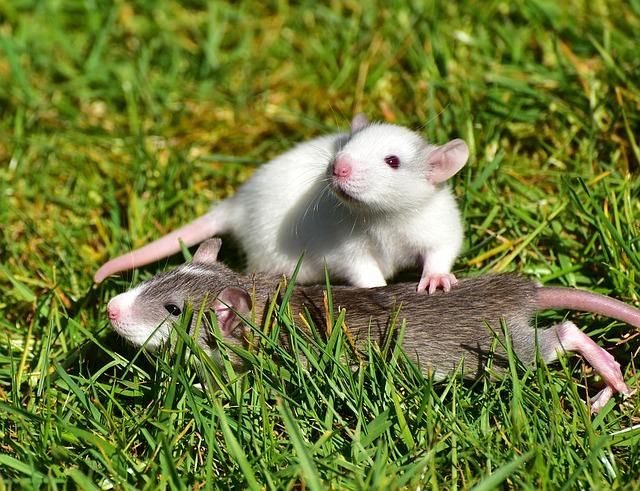 dromen over ratten