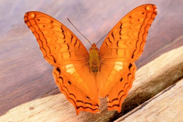 dromen over vlinders